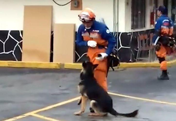 En un video se aprecia como el brigadista japonés entrena con su binomio canino. (Foto: Captura)