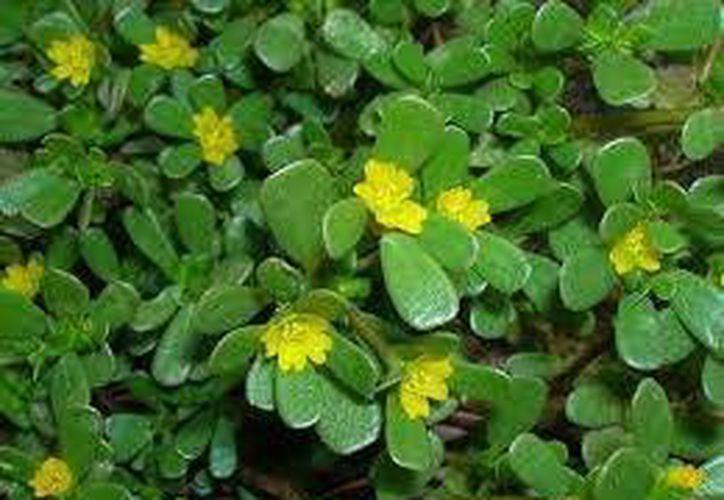 La verdolaga (Portulaca oleracea) es una planta muy resistente y que se adapta a cualquier tipo de suelo, incluso los más agrestes. (SIPSE)