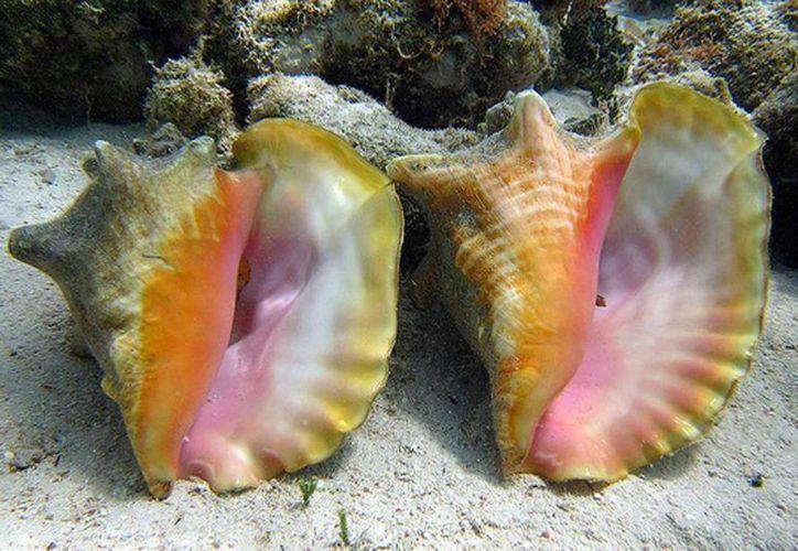 Los pescadores solicitaron la veda del caracol rosado, además de solicitar mayor vigilancia, ya que la pesca furtiva es la principal razón de la disminución de ésta población. (Juan Palma/SIPSE)