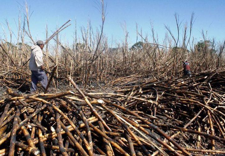 Esperan cumplir en tiempo y forma con la meta de un millón 600 mil toneladas de caña para mayo. (Edgardo Rodríguez/SIPSE)