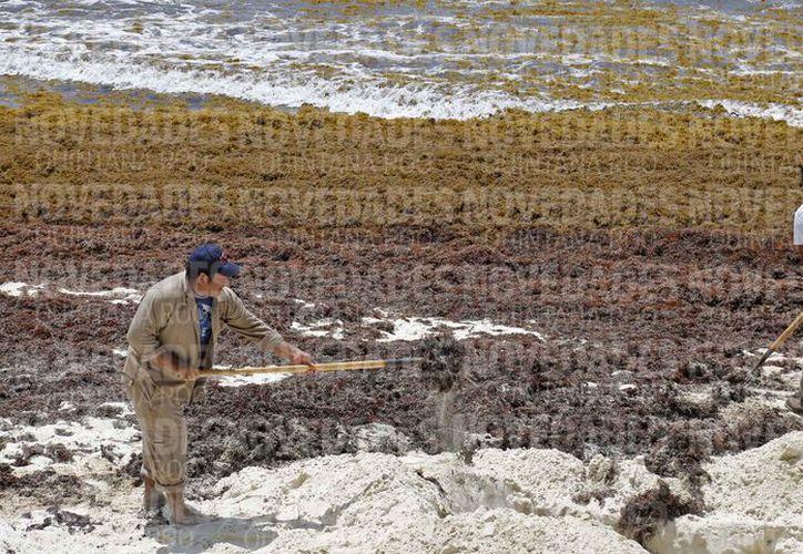 Las zonas costeras son afectadas por el excesivo recale de sargazo. (Jesús Tijerina/SIPSE)