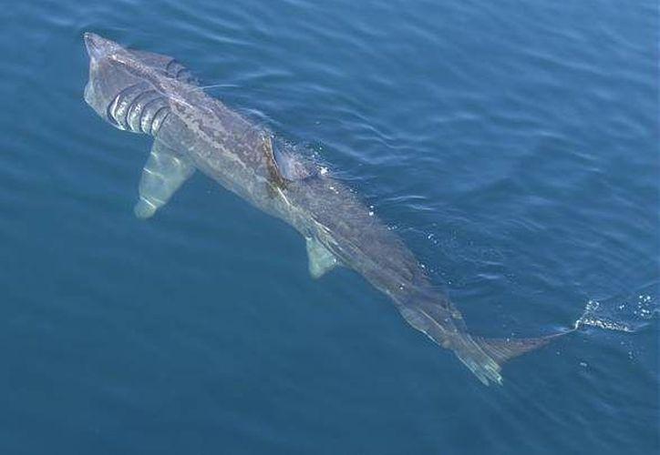Estos gigantes marinos, que se alimentan de plancton, se encuentran al bordo de extinción. (Foto: Contexto/Internet)