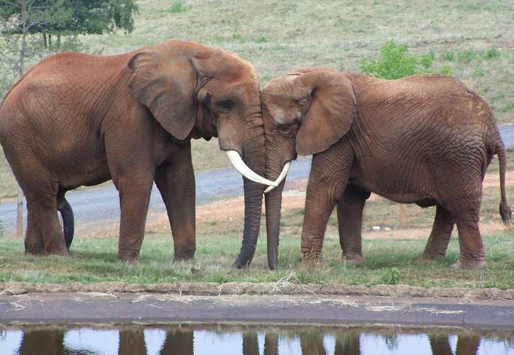 La ONG denunció varias veces que cada año se mata a decenas de miles de elefantes. (planetaazul.com.mx)