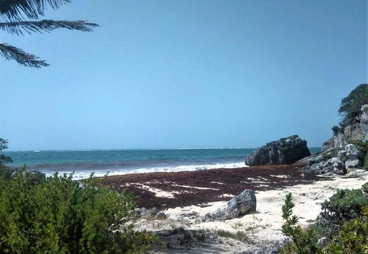 Hay 400 variedades del alga y al país arriban sólo dos de ellas. (Notimex)