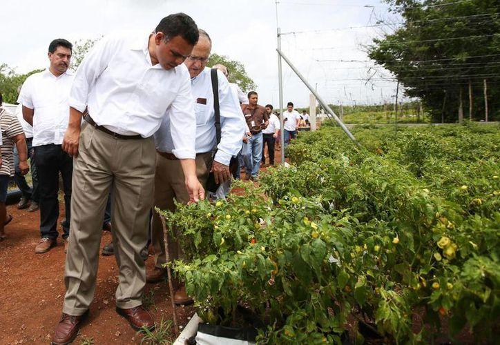 El gobernador yucateco Rolando Zapata visitó este martes en Hocabá el invernadero a cielo abierto de la empresa Znova Agro, donde se siembran chile habanero de la variedad maya kisín y papaya payadol. (Cortesía)