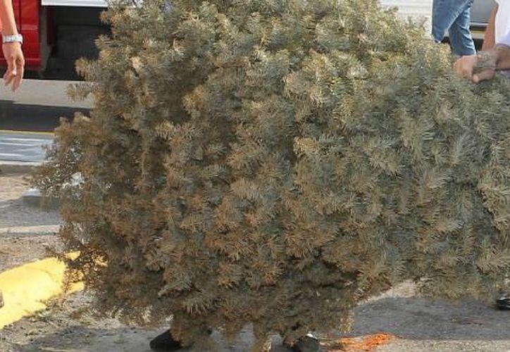 Estos árboles Siresol los tritura y los manda a la planta de composta. (Internet)