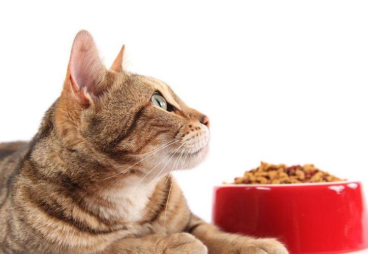Los gatos son animales con un organismo muy sensible, sobre todo a la hora de comer. (Redacción/SIPSE)