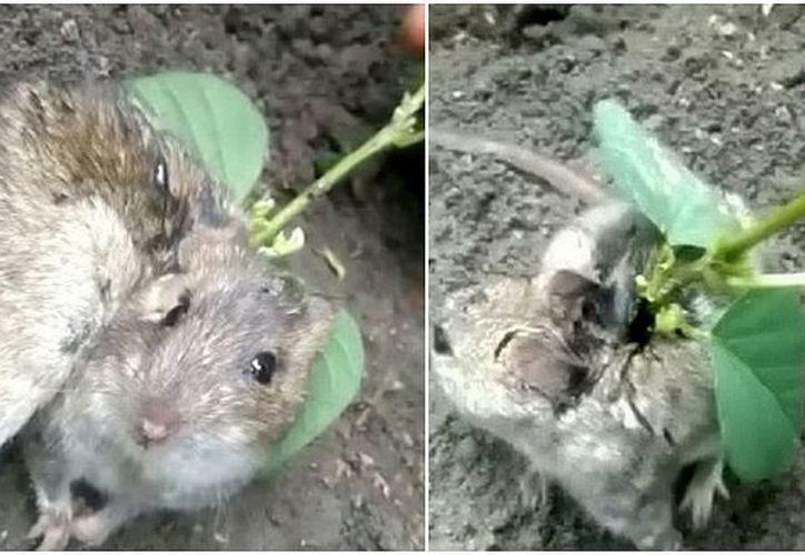 El animal fue hallado por el agricultor Datar Singh, quien plantó una cosecha de la planta en su huerto. (Foto: diariocorreo.pe)