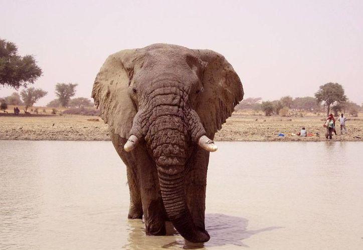 Cazadores furtivos mataron a 19 elefantes en Mali, en una zona que está controlada por rebeldes. La imagen es de archivo, y fue tomada en Hombori, Mali. (Archivo/AP)