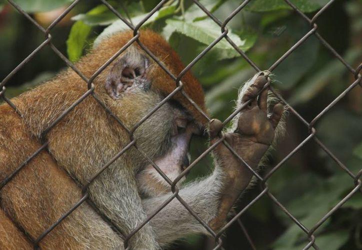 """El jefe del departamento del parque zoológico del Centenario, William Cabrera Borges, dijo que luego de un operativo de aseguramiento los animales llegan muy estresados al zoológico, algunos se recuperan y otros no. incluso tienen """"mañas"""" a la hora de manejarlos y encerrarlos. (Milenio Novedades)"""