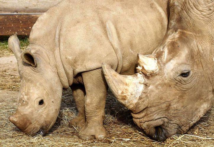 El tráfico ilícito de marfil y cuerno de rinoceronte es una importante preocupación en el este de África, donde Kenia y Tanzania son los principales países de salida de estos productos. (Archivo/EFE)