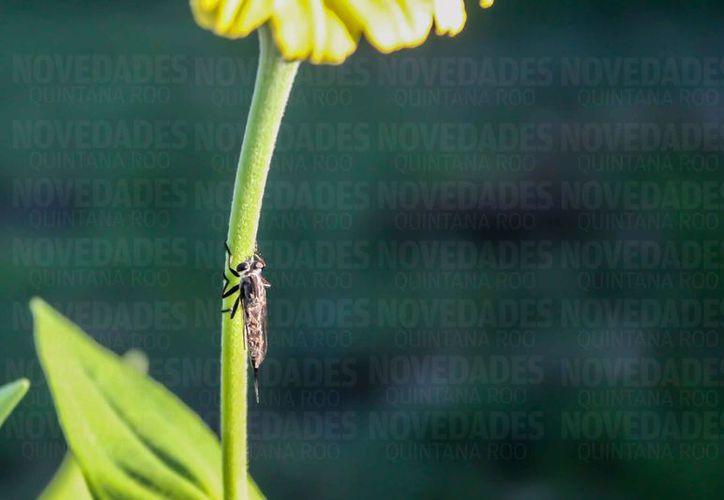 Señalan que el mosco Aedes Albopictus es más de zonas selváticas y rurales. (Rodrigo Osorio/SIPSE)