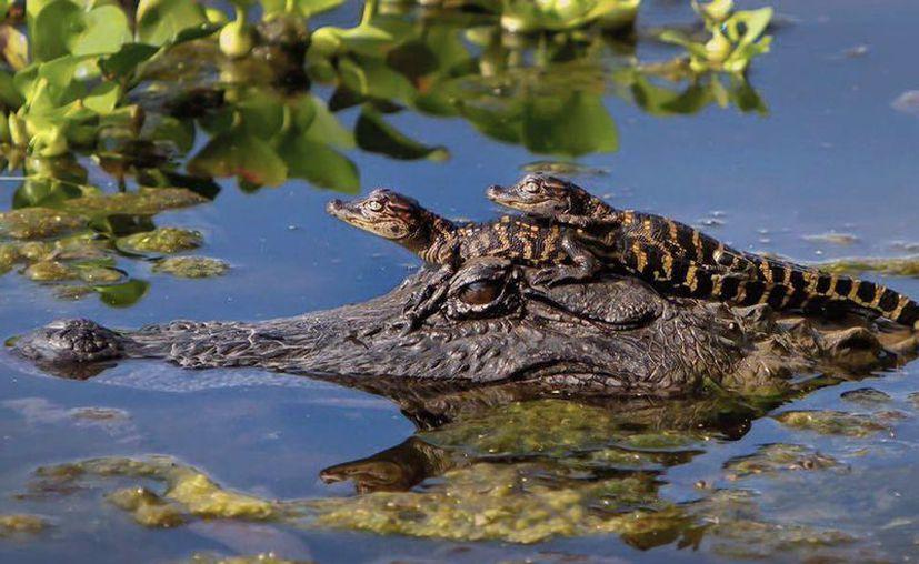 En la mayoría de los predios de las 58 hectáreas que tiene Tajamar habitan los cocodrilos. (Jesús Tijerina/SIPSE)
