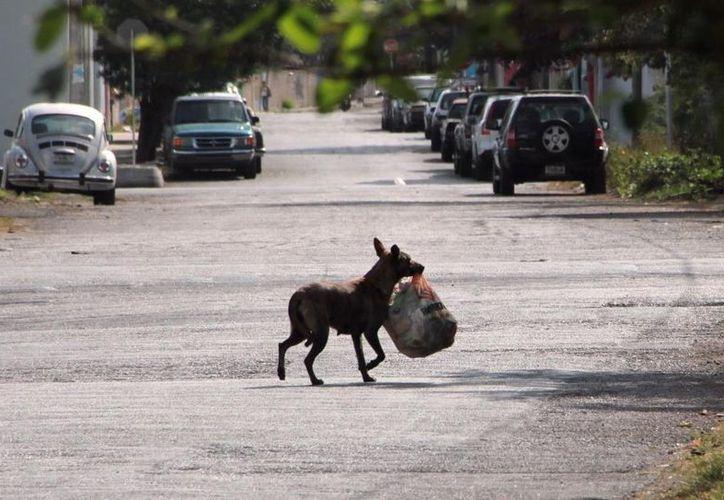 Más de 15 animales callejeros entre perros y gatos se recogen de las calles todos los días. (Archivo)
