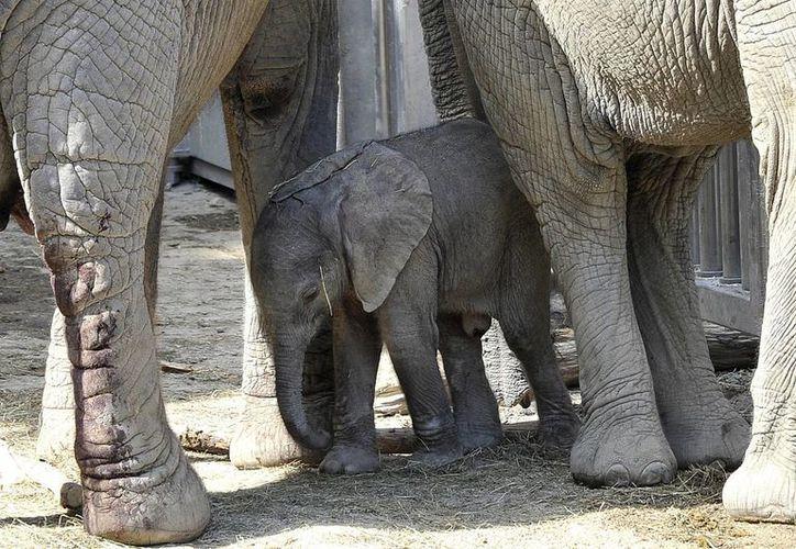 La mamá elefante Tonga, a la izquierda, y su medio hermano Mongu custodian a una pequeña elefante de un día de nacida, y sin nombre, en el zoológico Schoenbrunn. (Agencias)