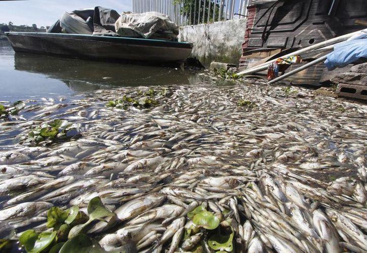 El subdirector operativo de la delegación de la Conagua dijo que el fenómeno de falta de oxígeno que causa mortandad de peces se presenta eventualmente en varias partes del mundo. (Foto: Notimex)