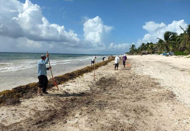 Al día recolectan más de siete toneladas de alga marina y esperan que el arribo se duplique. (Joel Zamora/SIPSE)