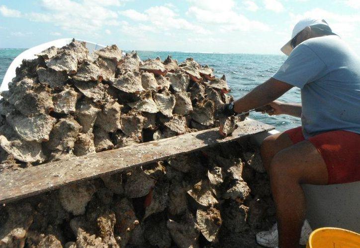 Durante la prohibición de cinco años, el mercado fue saturado por la pesca furtiva, provocando la caída del precio de $180 por kilo a $120. (Foto: Benjamín Pat / SIPSE)
