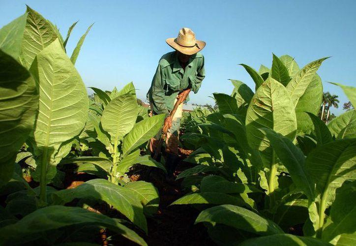 Un campesino cubano cosecha hojas de tabaco, en la occidental provincia de Pinar del Río en Cuba. (Archivo/EFE)