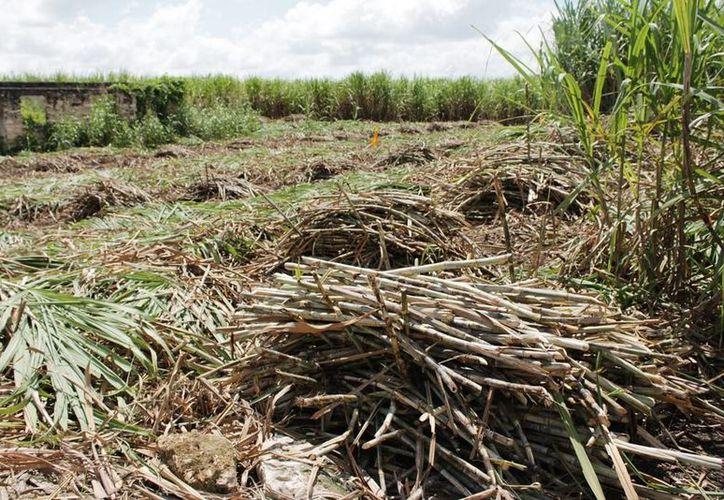 32 mil 500 hectáreas de caña distribuidas en 14 ejidos productores. (Edgardo Rodríguez/SIPSE)