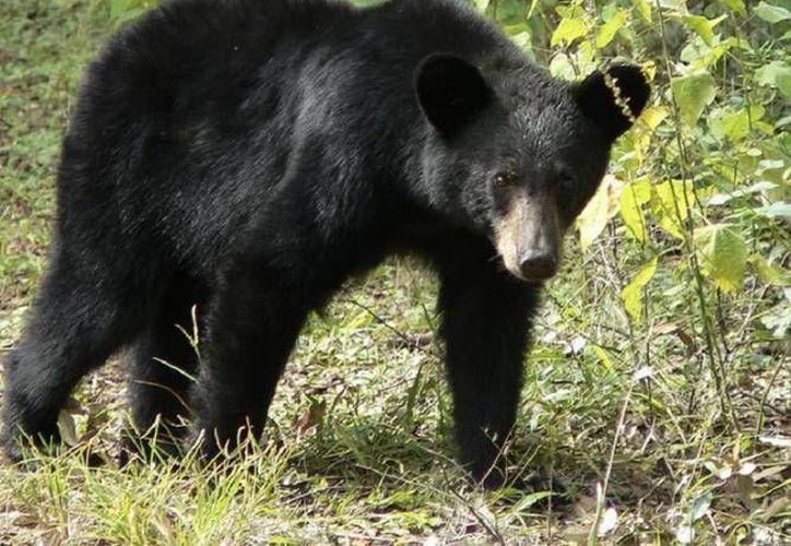 Los osos permanecían en el Parque Zoológico La Pastora de Monterrey, donde el personal se encargó de cuidarlos. (imagen.com.mx)
