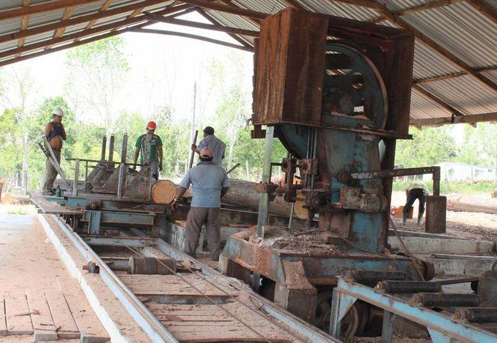 Los productores forestales procederán legalmente con el fin de que se levante la restricción para la extracción de cedro rojo. (Harold Alcocer/SIPSE)
