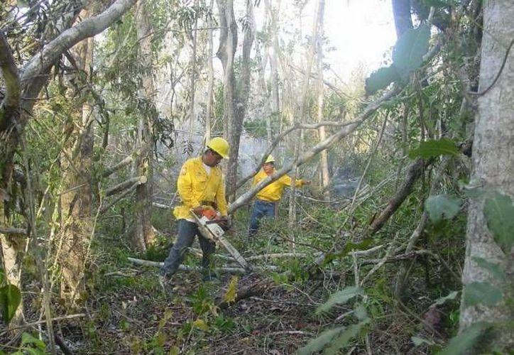Este año sólo contratarán  un millon de platas para reforestar mil hectáreas, dejando menos ganancia a silvicultores. (Redacción/SIPSE)