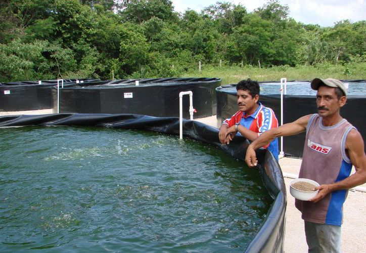 La cría de tilapia permite diversificar la alimentación de las poblaciones rurales del estado. (Manuel Salazar/SIPSE)
