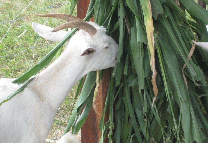 Ganaderos de Quintana Roo proponen industrializar el sargazo para aprovecharlo como alimento para ovinos y bovinos. (Javier Ortiz/SIPSE)