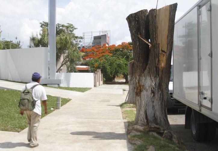 Imagen de cómo quedó el árbol que se taló a las puertas de una empresa automotriz (César González/SIPSE)