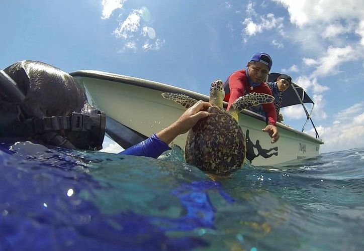 Las tortugas Caguama y Verde son las que desovan en Cozumel. (Foto: Gustavo Villegas)