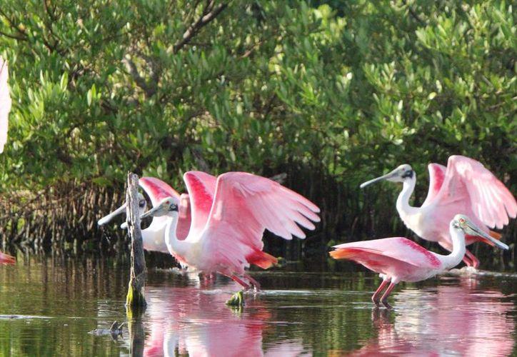 En la Laguna X'tacún, anida y se congrega la garza rojiza. (Foto: Redacción)