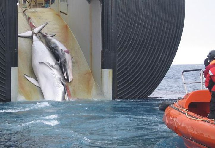 Durante los últimos 20 años, el número de ballenas capturadas por la flota de Noruega, ha ido disminuyendo. (Foto: La Vanguardia)