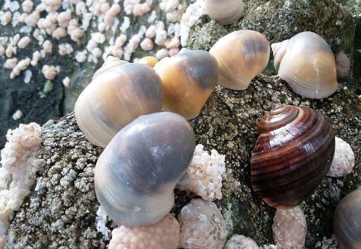 La población de caracol chivita ha disminuido en la laguna de los Siete Colores de Bacalar. (Javier Ortiz/SIPSE)