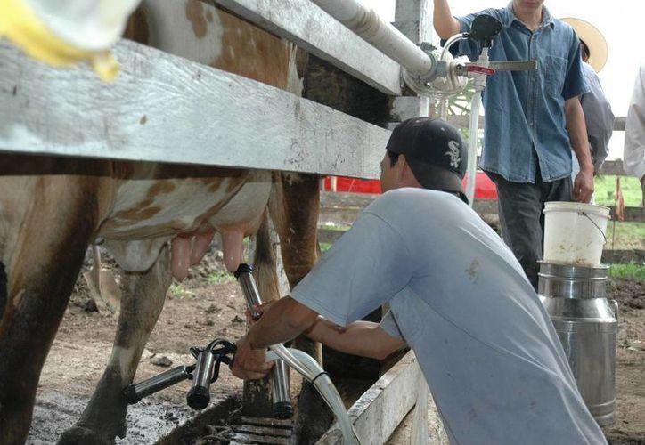 La leche bronca y pura no aumentará su precio, debido a que la mayor productividad del producto lácteo se deriva de las queserías artesanales. (Edgardo Rodríguez/SIPSE)