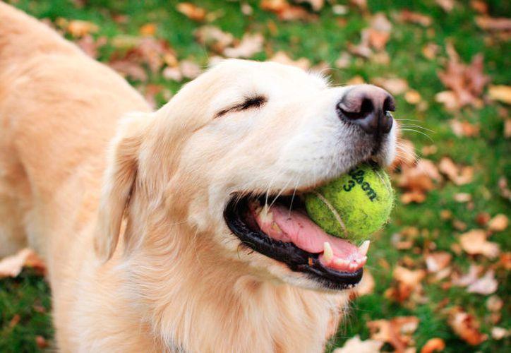 Estudios previos sobre comunicación con perros indicaban que hablar con voz de bebé a los cachorros mejoraba la relación. (Anipedia)