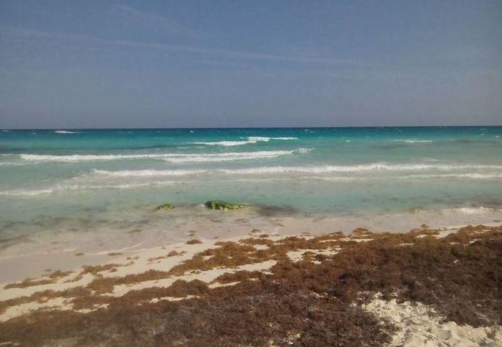 El sargazo contiene pulgas marinas que solas pueden picar hasta 12 veces a los bañistas. (Guadalupe Díaz/SIPSE)