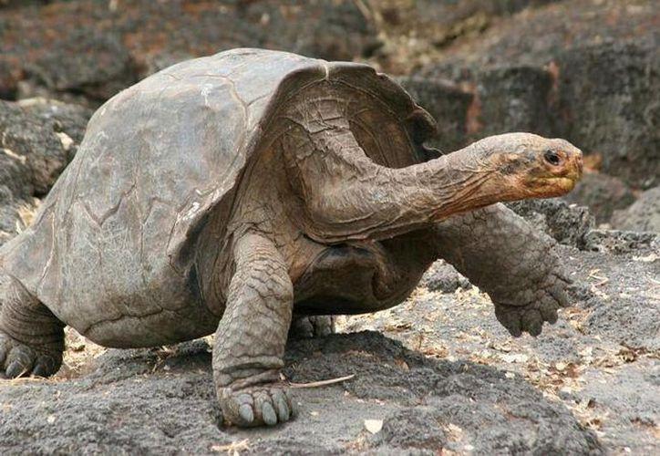 Las tortugas gigantes anidan en la isla Santa Cruz, de Galápagos, donde son protegidas de sus depredadores naturales. (Foto: kids.nationalgeographic.com)
