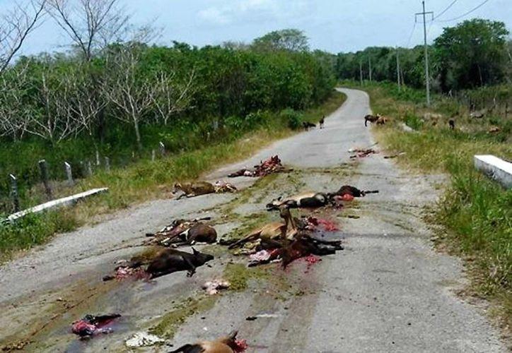 Aproximadamente 20 animales murieron al ser atropellados cuando cruzaban la carretera a El Cedralito, en Bacalar. (Javier Ortiz/SIPSE)