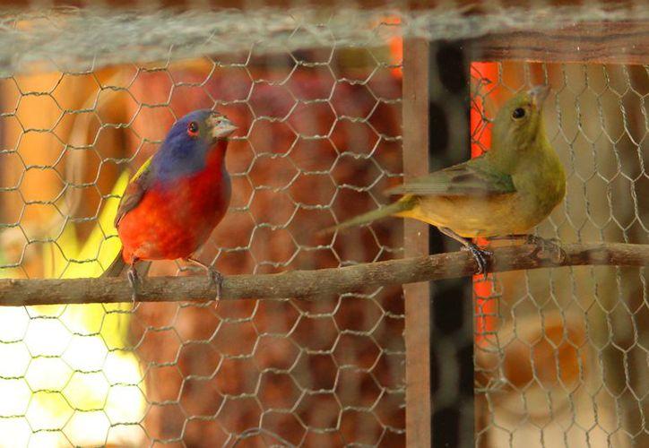 La Dirección de Medio Ambiente aconseja a la ciudadanía denunciar la compra y venta ilegal de aves en Playa del Carmen. (Octavio Martínez/SIPSE)