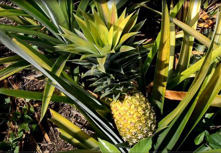 La producción de piña no requiere de mucha humedad, pero la prolongada sequía ya perjudica los cultivos, lo que representará cuantiosas pérdidas.