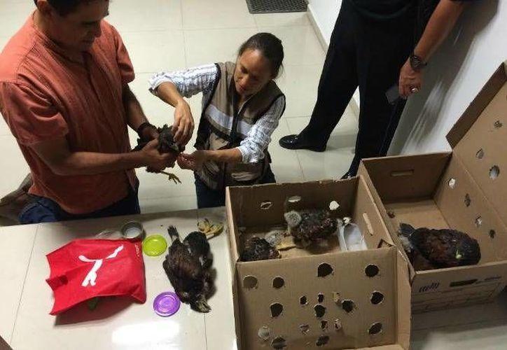 Los nueve ejemplares de la especie Harris fueron decomisados por Profepa y Policía Federal en San Luis Potosí. (FDoto: Profepa, en Excélsior.com)