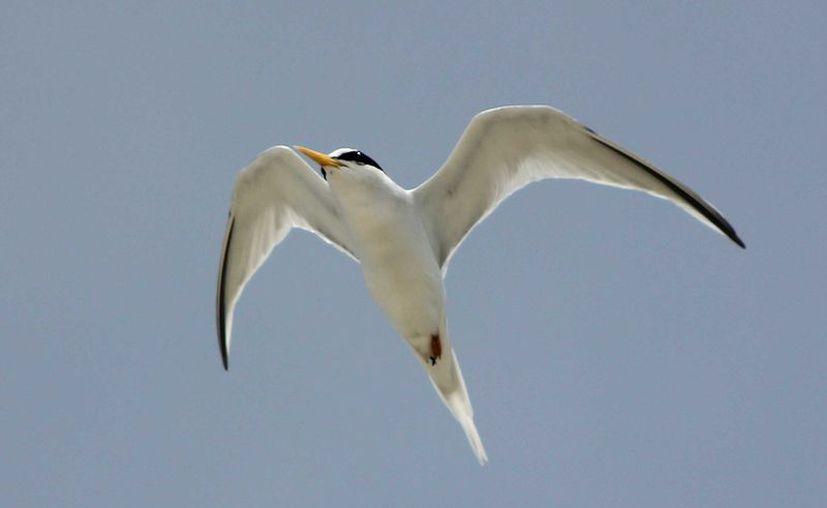 El club de observadores de aves Cozumel Birding Club ha detectado nidos. (Gustavo Villegas/ SIPSE)