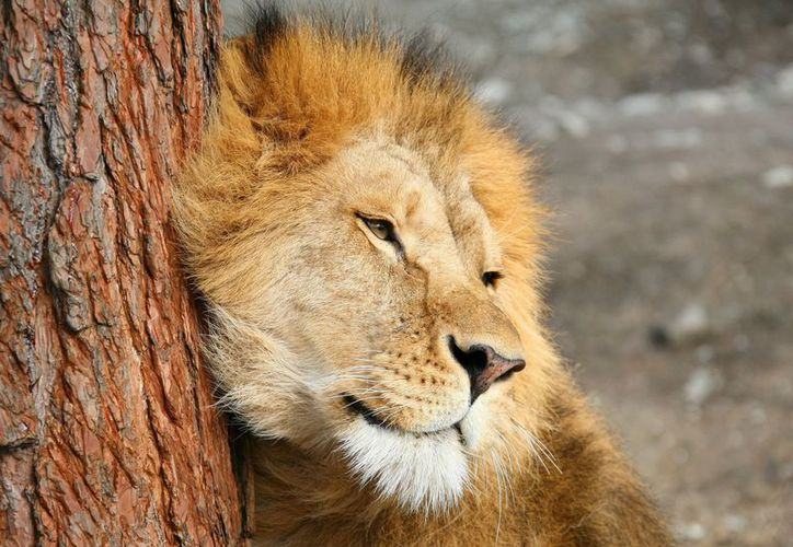 León es grabado cuando no pudo bajar de un árbol y queda atorado en las ramas. (contexto)
