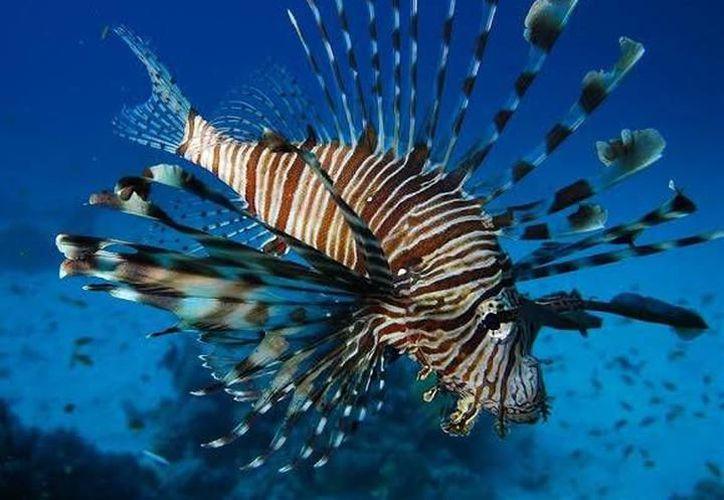 Pescadores vieron meros como consumidores activos del pez león. (Internet)