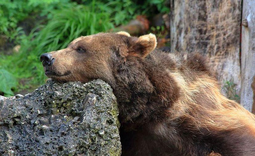 Un oso recorrió varias calles de una población cercana a LA y los vecinos se emocionaron. (Foto: piqsels.com).