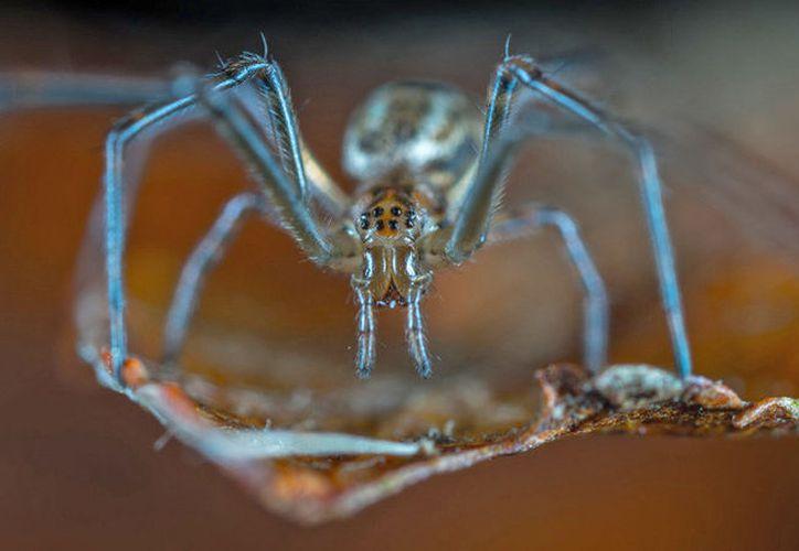 Invasión de arañas cazadoras gigantes, arácnidos con las patas más largas del mundo y conocidos por su velocidad y capacidad de reacción. (Foto: RT)
