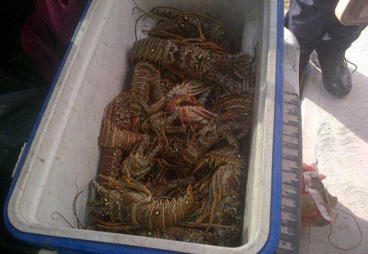 Cinco personas fueron detenidas al ser sorprendidas cuando trasladaban 15 kilos de langosta y caracol, especies que están declaradas en veda.  (Redacción/SIPSE)
