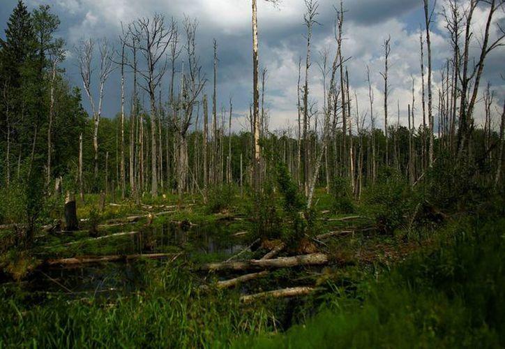 El viernes, autoridades ordenaron la suspensión inmediata de la tala en el bosque de Bialowieza. (Foto: Contexto/Internet)