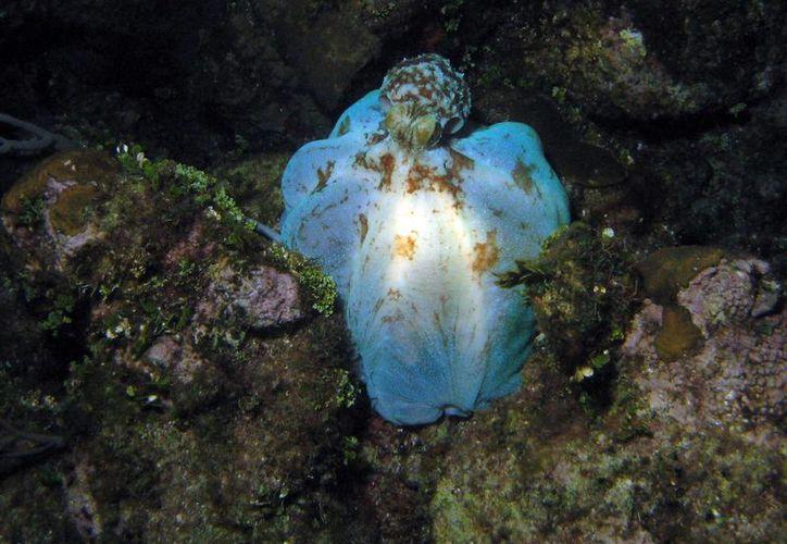 La captura de pulpo por medio de cloro contamina el fondo marino. (Cortesía/Marc AuMarc)